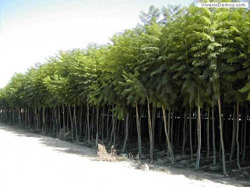 Arboles sus clasificaciones taringa for Arboles hoja perenne para jardin